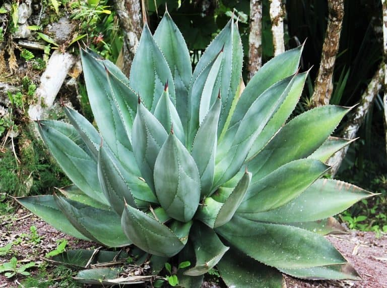 How To Plant Aloe Vera With Roots (A Simple Guide)