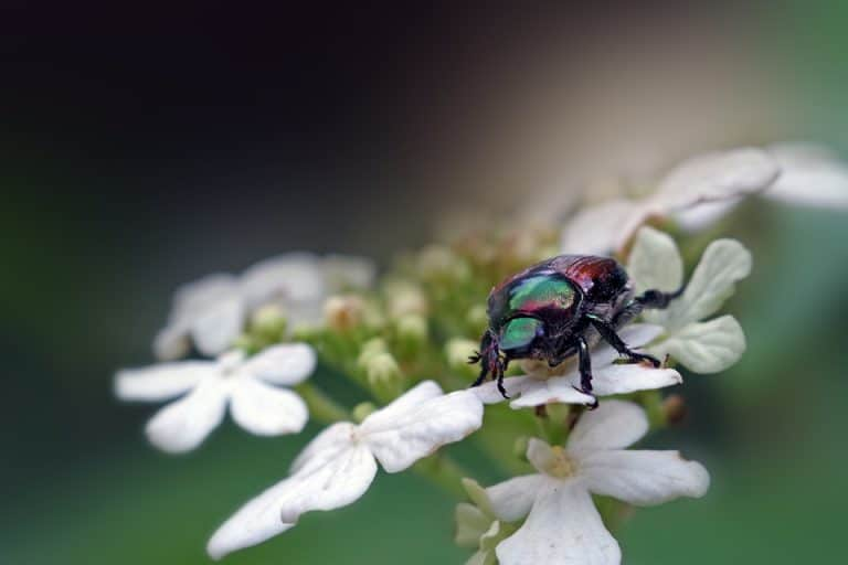 10 Plants That Attract Japanese Beetles (To Your Garden)