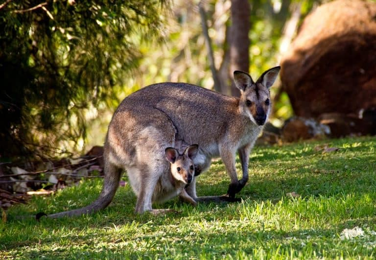 20 Plants That Attract Kangaroos (+ Plants They Hate)