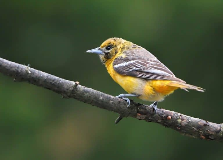 10 Plants That Attract Orioles (#5 Is An Exotic Plant)