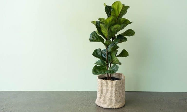The Best Pot Size For Fiddle Leaf Fig [+ Types of Growing Pots]