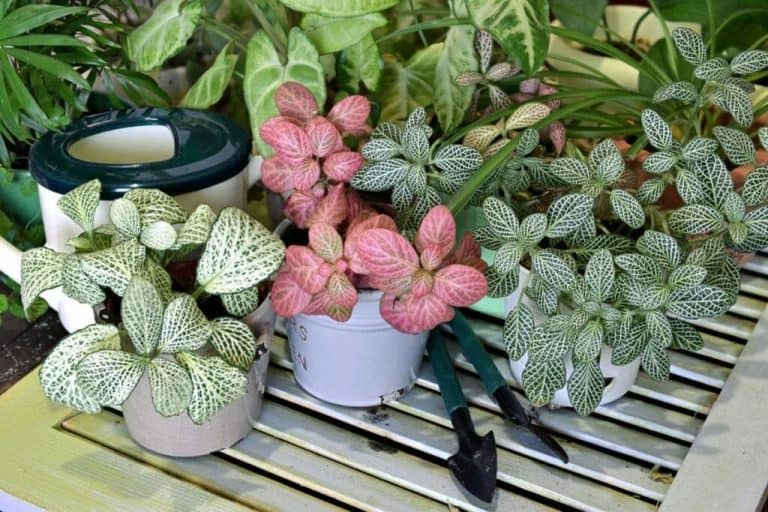 Fittonia Leaves: 10 Common Leaf Problems Of Nerve Plants