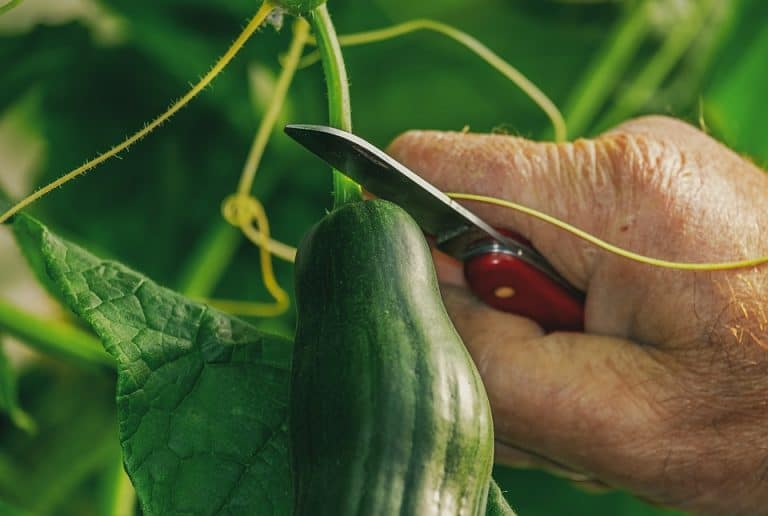 Is Cucumber A Cruciferous Vegetable? (What You Should Know)