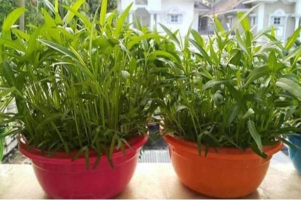 How to Grow Kangkong in a Pot (A Complete Guide)
