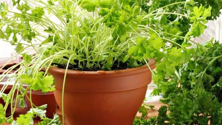 How to Grow Lentils Indoors (A Practical Guide)