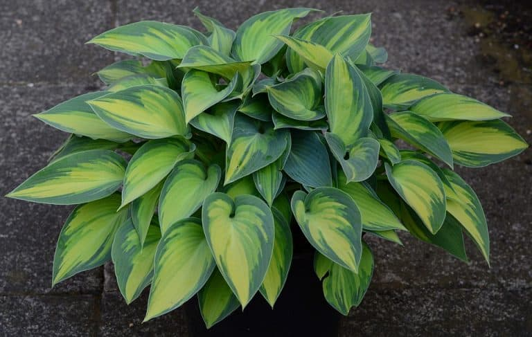 What Side Of House To Plant Hostas? (for the best yield)
