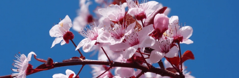 Names Of Flowering Trees (Top 30 List, Identification, Pictures)