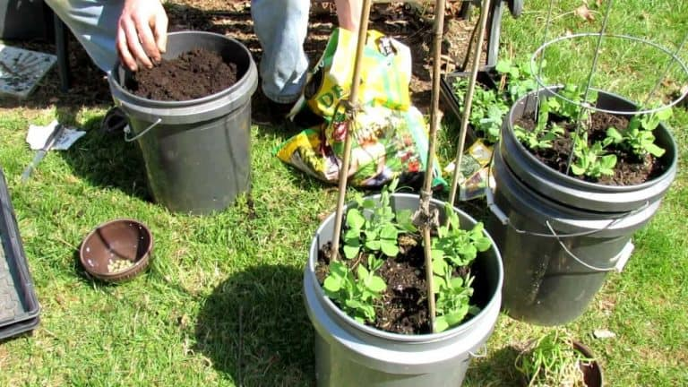 Can You Grow Green Beans in a 5 Gallon Bucket? (Yes… If)
