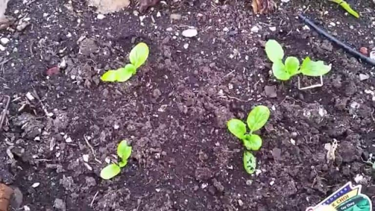 Kale Seedlings (A Complete Guide to Planting & Care)