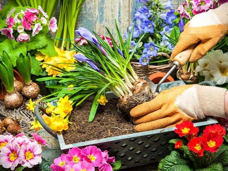 Can You Plant On Top of Bulbs (is it safe to do so)?
