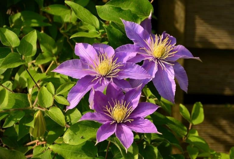 What Side of the House to Plant Clematis (explained)?