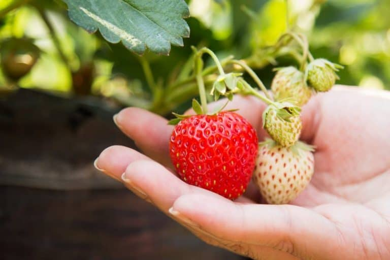 The Best Pot Size for Strawberries (and Why Use a Pot)