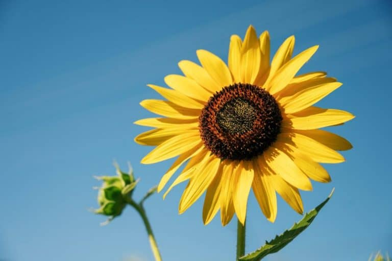 The Best Pot Size for Sunflowers (Explained)