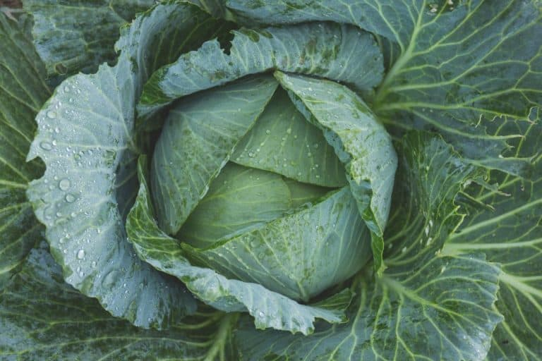 Best Fertilizer for Cabbage (When and How to Apply It)