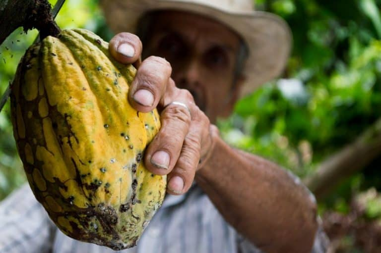 The Best Fertilizer for Cocoa Tree (and how to apply it)