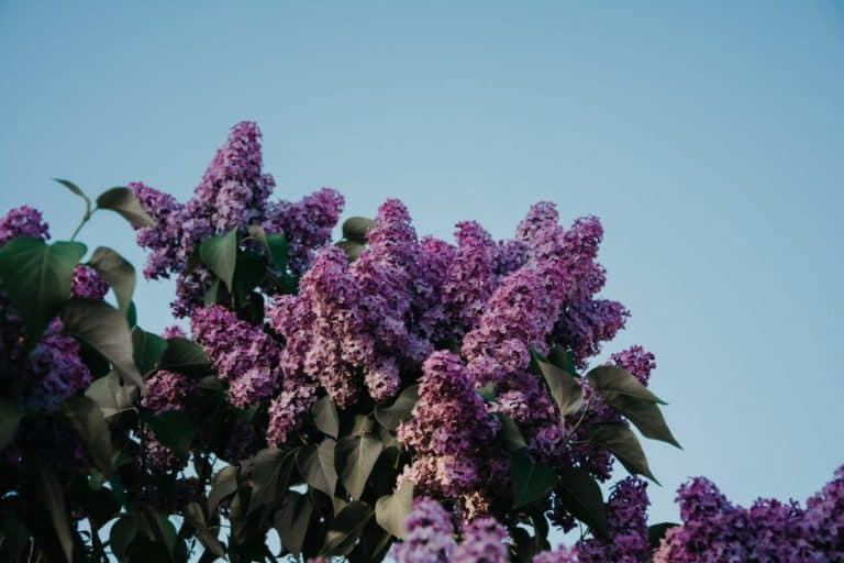 How to Rejuvenate a Lilac Tree (A Complete Guide)