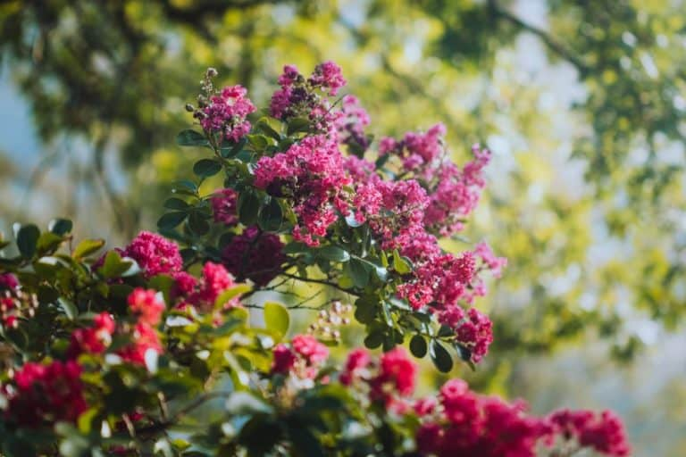 Do Crepe Myrtles Grow in Pots? (Yes, If…)