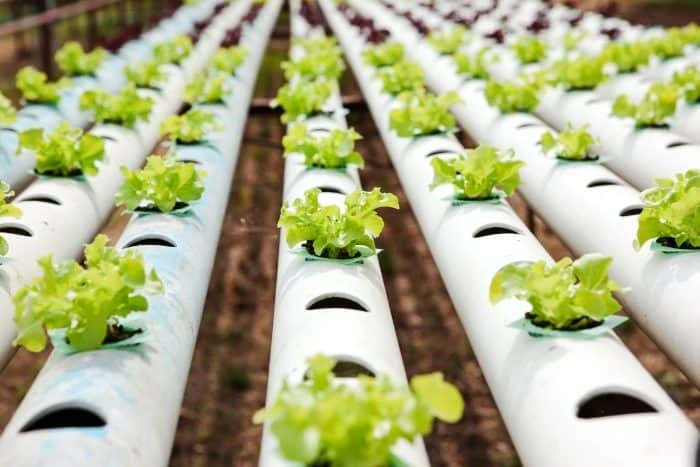 How To Grow Lettuce From Seed in Aquaponics
